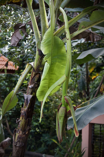 Agriculture Banana Banana Leaf Banana Tree Beauty In Nature BIG Day Dramatic Banana Food Freshness Green Bananas Green Color Growth Leaf Natural Nature Organic Outdoors Plant Tree Tree From Backyard Uniqueness Ayarkkunnam Botany