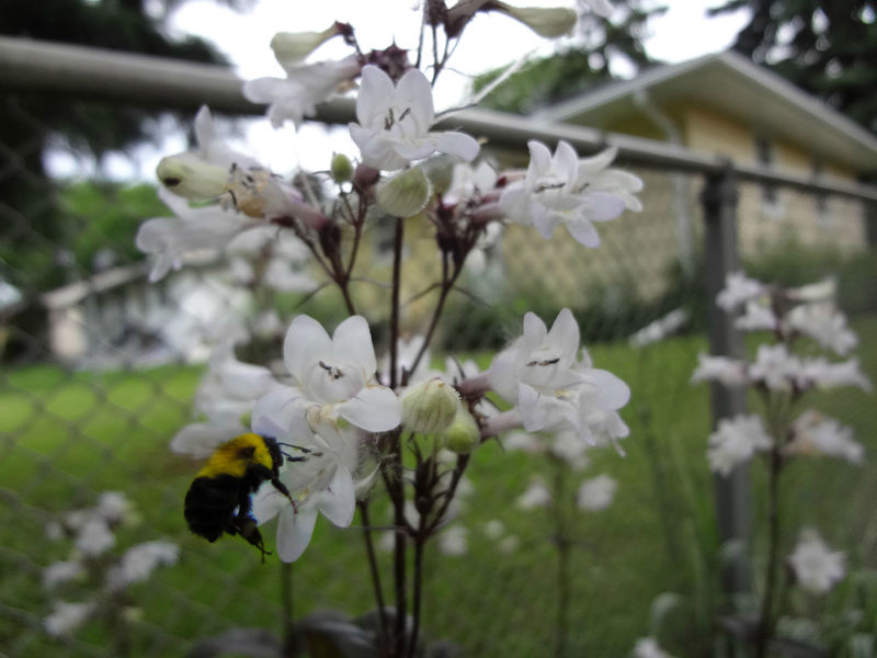 Bumblebee in the backyard Beauty In Nature Blooming Blossom Botany Bumblebee Close-up Day Flower Flower Head Focus On Foreground Fragility Freshness Growth In Bloom Nature No People Outdoors Petal Plant Selective Focus Stem Tabphotography Tree Twig White Color