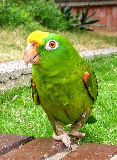 Parrott Bird