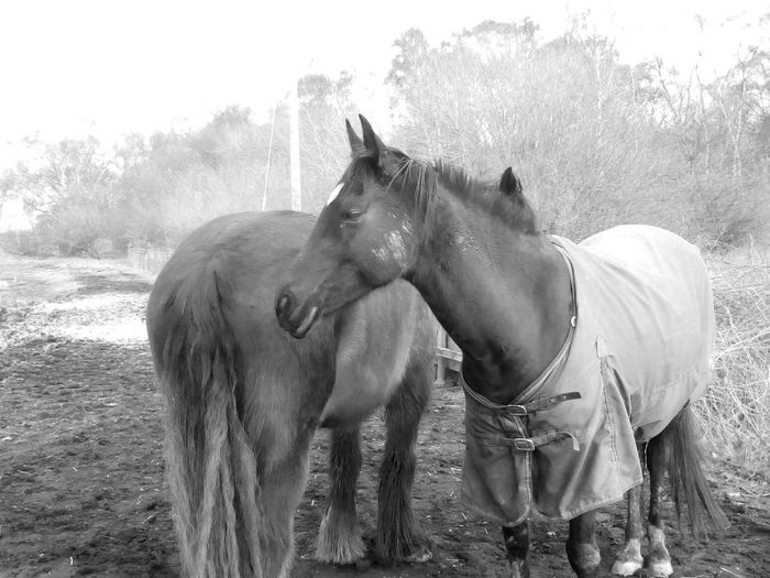 Horse Domestic Animals Tree Day Animal Themes Mammal Outdoors Standing Working Animal Nature Elephant Togetherness No People Sky Animal Portrait Horse Love Black Horse Black And White Portrait Black And White Blackandwhite Photography Horseriding Horse Life Horses Horse Riding Horse Photography