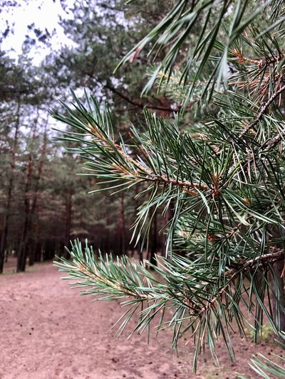 Moscow Beauty In Nature Branch Coniferous Tree Day Evergreen Tree Fir Tree Focus On Foreground Forest Forestwalk Green Color Growth Land Nature Needle - Plant Part No People Non-urban Scene Outdoors Palm Leaf Pinaceae Pine Tree Pine Woodland Plant Tranquility Tree