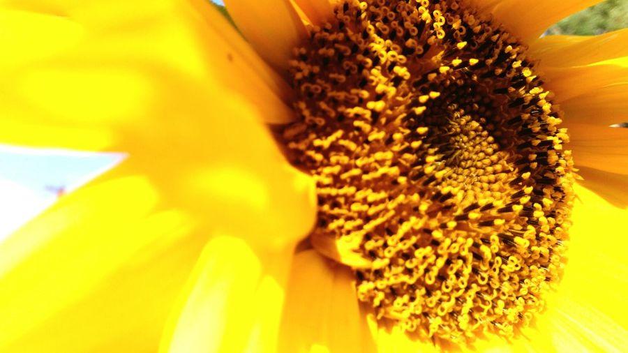 Подсолнух крупным планом EyeEmNewHere подсолнух цветок  подсолнухи желтые цветы желтыйцвет желтый лето Летниецветы солнце солнечныйдень солнечный день Backgrounds Flowers, Nature And Beauty Close-up Sunflower