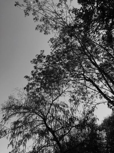 Blackandwhite Plant Tree Low Angle View Sky Nature Branch Growth Plant Part Silhouette Clear Sky Scenics - Nature Tranquility Treetop No People Day Backgrounds Beauty In Nature Outdoors Directly Below Leaf