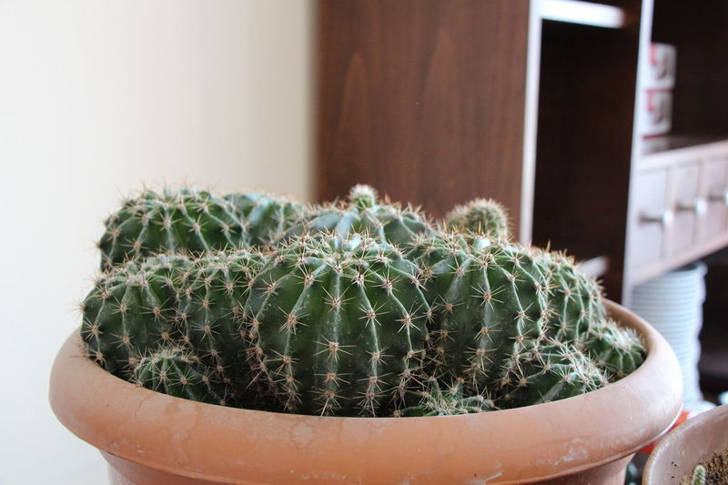 High Angle Vies of Cactus Turkey Close-up Day Focus On Foreground Green Color Indoors  Nature No People Organic Organic Gardening