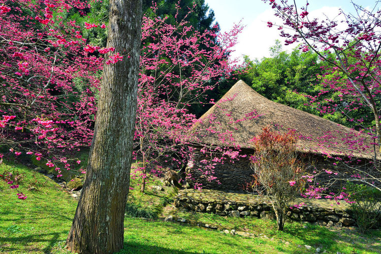 Architecture Beauty In Nature Blossom Branch Built Structure Day Flower Fragility Freshness Grass Growth Nature No People Outdoors Pink Color Plant Scenics Sky Springtime Tranquility Tree Tree Trunk 九族文化村 原住民 台灣