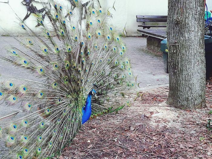 Eya Peacock