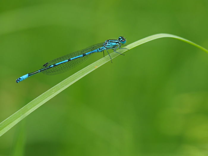 Blade Of Grass Macro Photography Pont Animal Animal Themes Animal Wildlife Animal Wing Animals In The Wild Blue Blue Dragonfly Close-up Coenagrionidae Damselfly Dragonfly💛 Focus On Foreground Green Background Insect Libelle🌾 Nature No People Odonata One Animal Outdoors Side View Summer