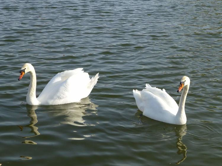 Swans Swans On The Lake Graceful Water Fowl Floating On Water Florida Life Spring Afternoon Love My Life