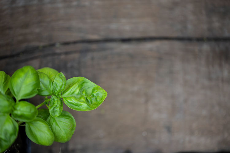 Basil Copy Space Basil Green Herb Wood Food Food And Drink Freshness Green Color Health Healthy Eating Herbage Leaf Nature Plank Plant Plant Part Vegetable Wellbeing Wood - Material EyeEmNewHere