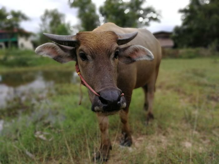 Thai buffalo EyeEm Selects American Bison Rural Scene Wind Instrument Oil Pump Agriculture Water Buffalo Field Portrait Cow Standing Cattle Highland Cattle Bull - Animal Farm Animal Rice Paddy Rice - Cereal Plant Terraced Field Domestic Cattle