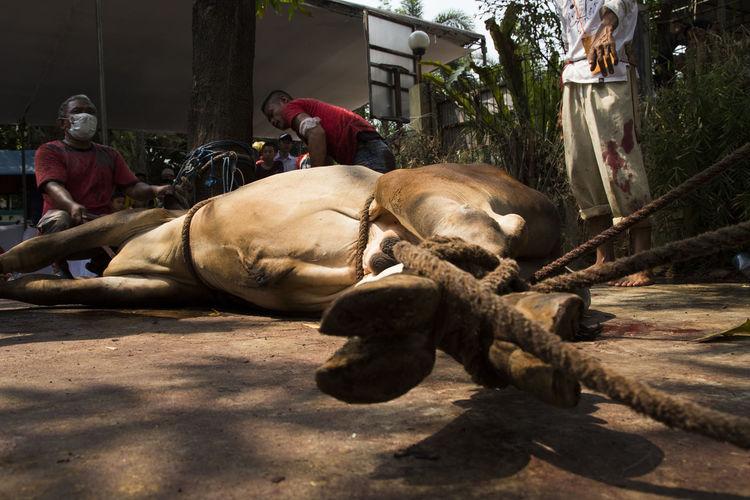 Animal Ciater Food INDONESIA Islam Meatballs Moeslem Qurban Religion Sacred Slaughter