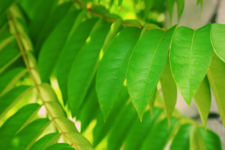 Starfruit Tree Fresh Nature Springtime Spring Tree Frond Leaf Backgrounds Close-up Plant Green Color Leaf Vein Plant Life Natural Pattern Leaves Botany Focus