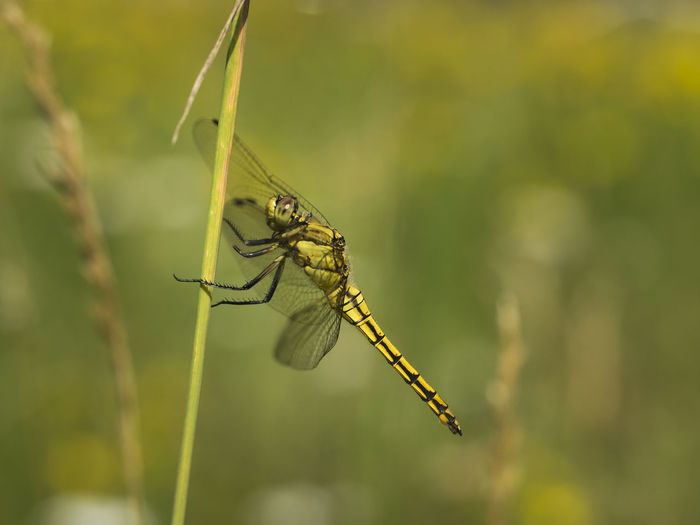 Blade Of Grass Macro Photography Animal Animal Themes Animal Wildlife Animal Wing Animals In The Wild Anisoptera Beauty In Nature Close-up Dragonfly Dragonfly💛 Focus On Foreground Insect Libelle🌾 Meadow Natur Nature No People Odonata One Animal Outdoors Plant Stem Side View Summer