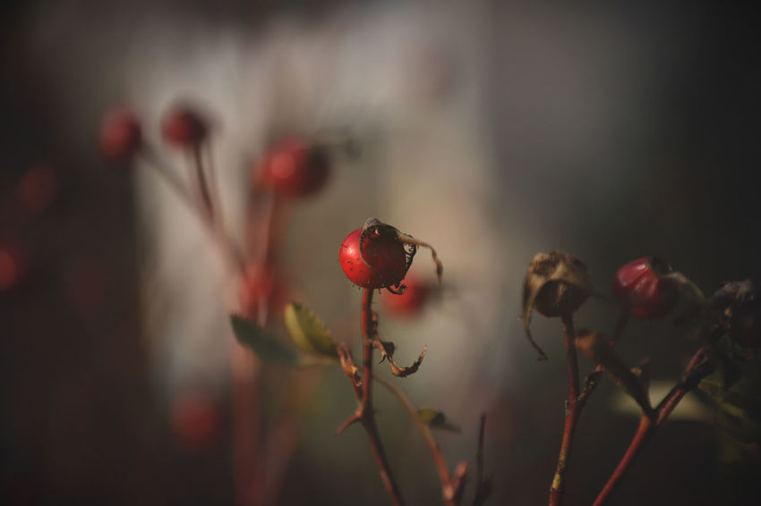 Beautiful Beautiful Nature Flowers,Plants & Garden Garden Flowers Red Wonderful World Beauty In Nature Beauty In Nature Berrys Close-up Day Flowers Freshness Garden Growth Nature No People Outdoors Plant Red Rose Hip Roses Selective Focus Wonderful Nature