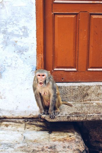 Portrait Of A Monkey Against Closed Door