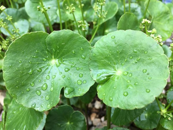 asiatic pennywort Asiatic Pennywort, Indian Pennywort Asiatic Pennywort Growth Leaf Drop Wet Plant Part Water Plant Beauty In Nature Green Color Close-up Nature Day No People Freshness Focus On Foreground Outdoors Rain RainDrop Leaves Dew