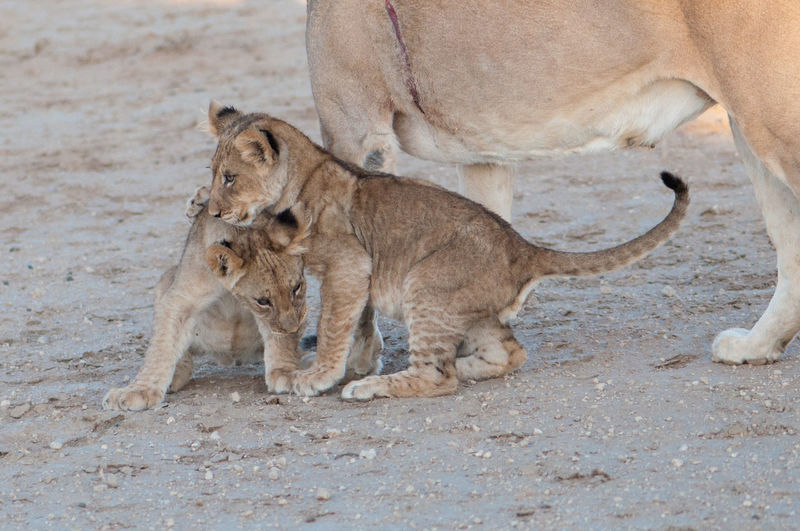 EyeEm Nature Lover Kalahari Wildlife Photography Animal Themes Animals In The Wild Cubs  Day Kalahari Lion Kgalagadi Transfrontier Park Lion - Feline Lion Cub Lioness Mammal No People Outdoors