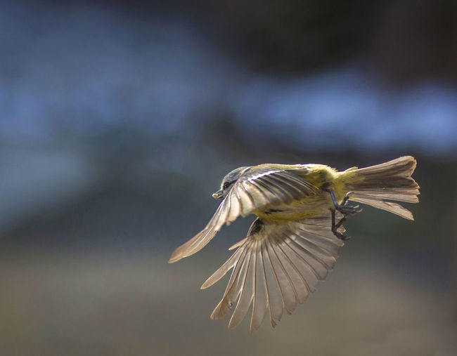 Bird Animal Wildlife Animal Themes Animals In The Wild Animal Flying One Animal Vertebrate Spread Wings Focus On Foreground Mid-air Motion No People Day Nature Animal Wing Flapping Outdoors Close-up Birds