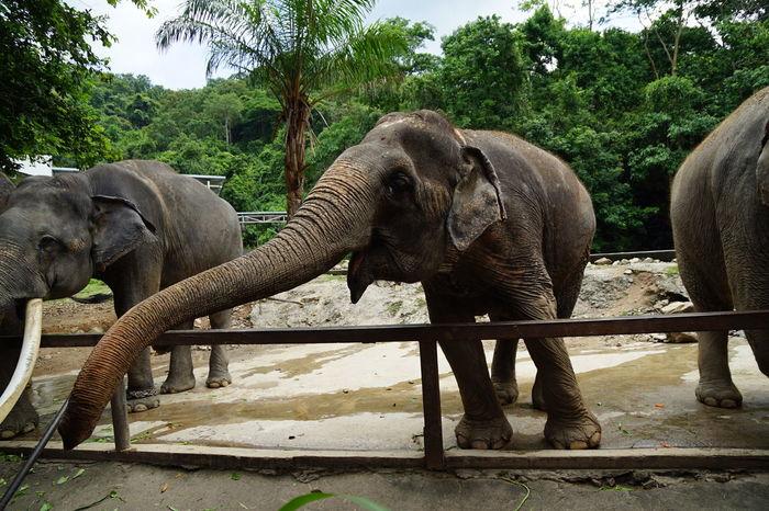 long trunk asia elephant Widelife Animal Trunk Tree Elephant Safari Animals Elephant Calf Water Animal Themes Sky Trunk Zoo Asian Elephant Animal Family
