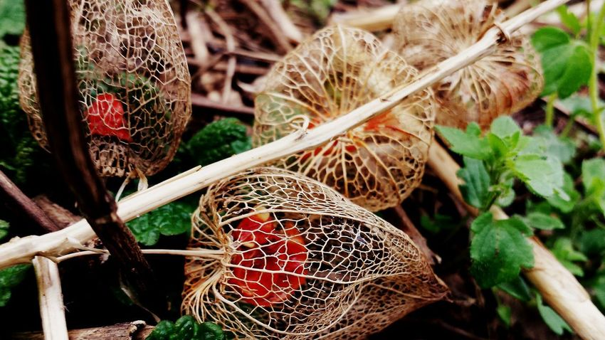 EyeEm Selects Outdoors No People Close-up Nature Growth Lampionblume Netz Net