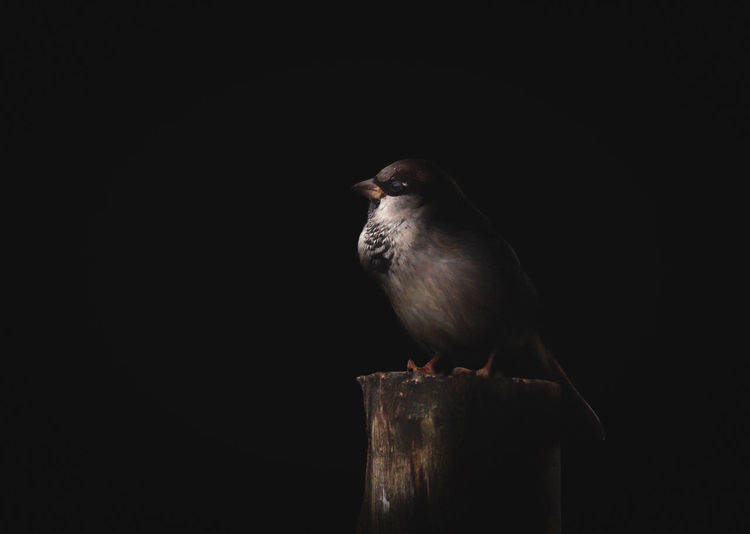 Bird Animal Animal Themes Vertebrate Bird One Animal Perching Copy Space Animal Wildlife Black Background Animals In The Wild Studio Shot No People Close-up Wood - Material Nature Looking Full Length Indoors  Cut Out Looking Away