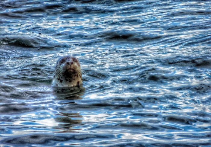 Seal? Life Is A Beach EyeEm Nature Lover Beachphotography Water_collection Beach Life Beach Photography Nature_collection Ocean Bluetastic Seal