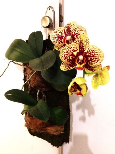 Phalenopsis Orchid Flower Leaf White Background No People Plant Green Color Close-up Colors Falenopsis Flower Head Freshness Nature Day Beauty In Nature