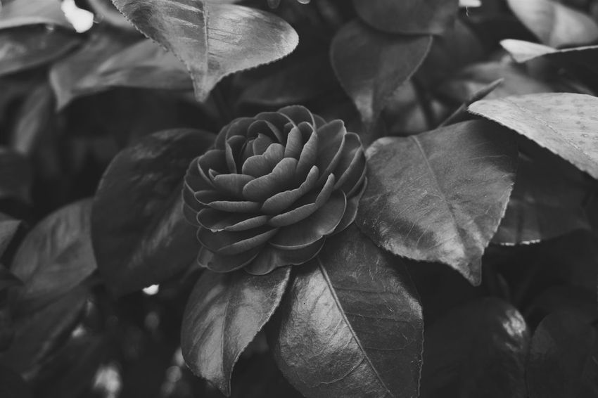 no colour, but beautiful. Camellia Taking Photos Flower Collection EyeEm Nature Lover Eye4photography  Getting Inspired Spring Flowers B&w Black And White