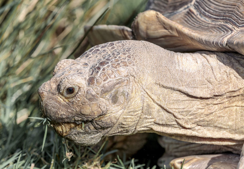 Tortoise Head Animal Animal Body Part Animal Head  Animal Scale Animal Themes Animal Wildlife Animals In The Wild Close-up Day Field Focus On Foreground Land Nature No People One Animal Outdoors Reptile Shell Tortoise Turtle Vertebrate