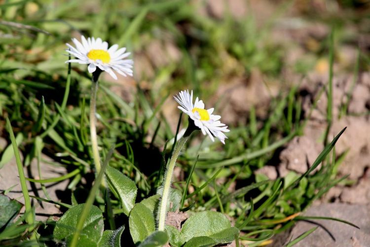 High angle view of white daisy flowers blooming at park