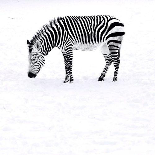 Winter White By CanvasPop Winter Zebra Blackandwhite Black And White