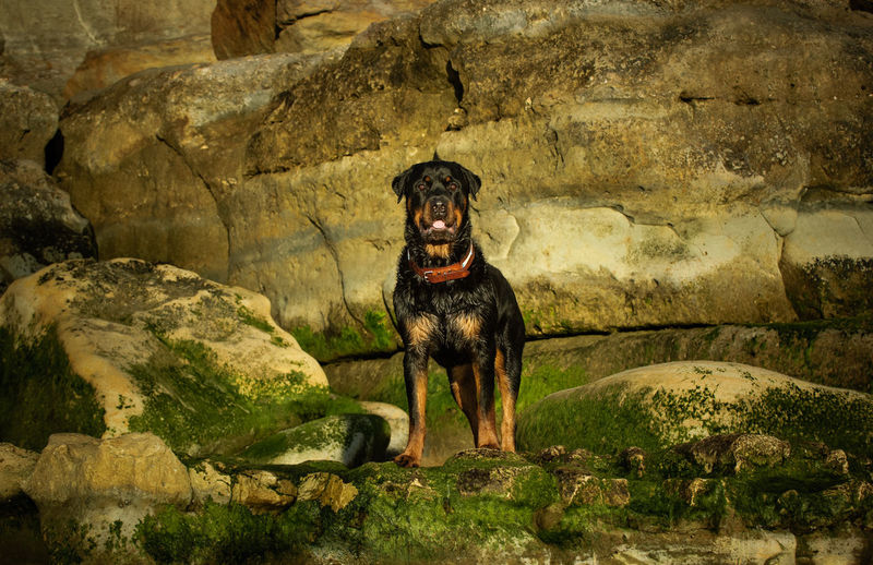 Rottweiler dog outdoor portrait Rottie Animal Animal Themes Canine Day Dog Domestic Animals Nature No People One Animal Outdoors Pet Pets Portrait Rock Rottweiler Standing