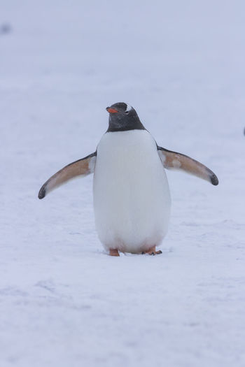 Close-up of penguin on snow