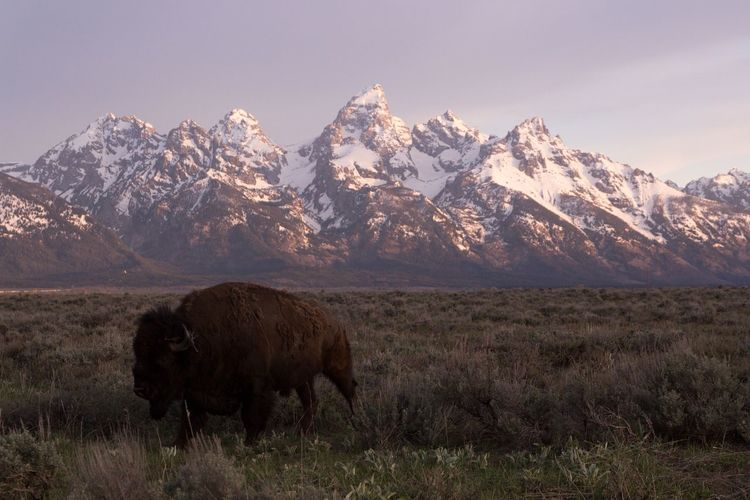 Bison on grassy field against snowcapped mountains