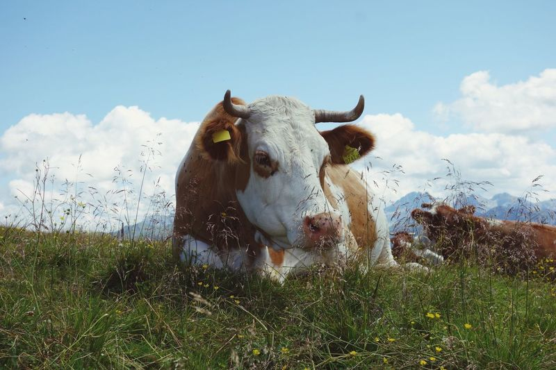 Cow Livestock Domestic Animals Cattle Field Nature Animal Themes Mammal One Animal