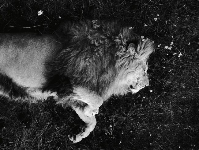 Outdoors Nature Close-up Animals In The Wild Day Mammal No People One Animal Animal Themes Lion Lions Sleeping Sleeping Lion The Great Outdoors - 2017 EyeEm Awards