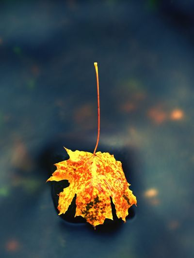 Fallen maple leaf. rotten yellow orange dotted leaf in water of mountain stream. colorful symbol
