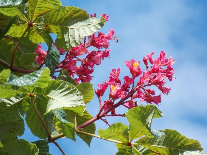 Kastanien Blüten Kastanienbaum Flowers Blue Sky