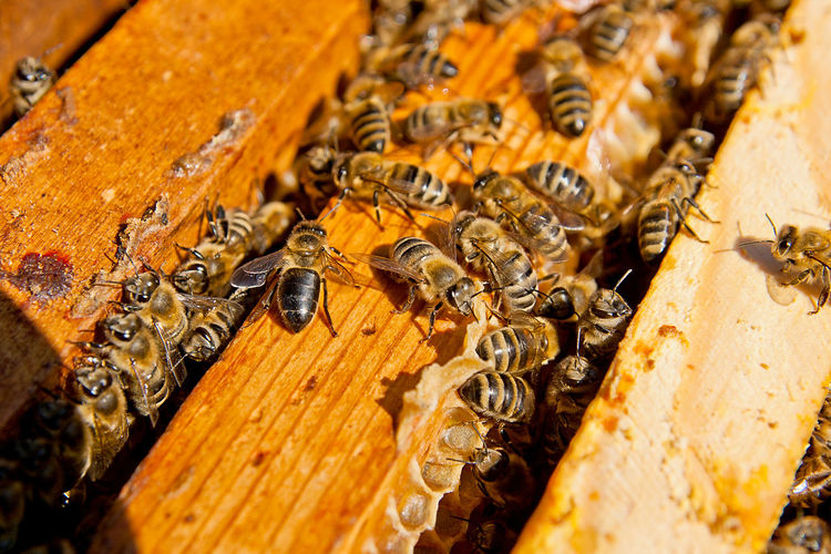 Invertebrate Insect Group Of Animals Bee APIculture Animals In The Wild Animal Themes Beehive Animal Animal Wildlife Close-up Honey Bee Large Group Of Animals Wood - Material Beauty In Nature Honeycomb Food Nature No People Selective Focus