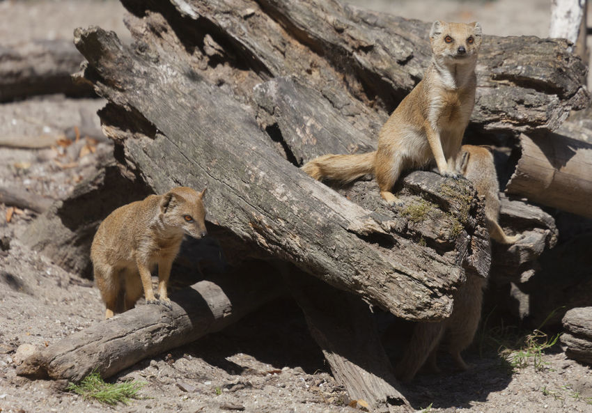 Yellow Mongooses - Cynictis penicillata Cynictis Penicillata Family Looking At Camera Meerkat Tree Trunk Africa Animal Family Animal Themes Arid Climate Boss Camouflage Curiosity Cute Driftwood Feline Full Length Group Of Animals Mammal Mongoose No People Outdoors Sitting Three Animals Watching Yellow Mongoose