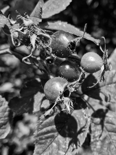 Autumn Beauty In Nature Berries Berry Black & White Blackandwhite Close Up Focus On Foreground Food Food And Drink Forest Freshness Fruit Growth Hip Monochrome Nature Plant Rosehip Rosehips Rosehip Tea Selective Focus Tea Plant Wild Berries Monochrome Photography