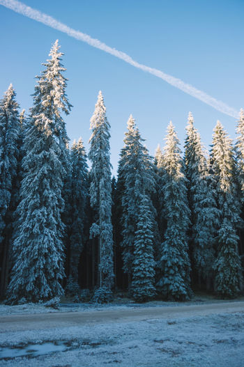 Pine trees in forest during winter against sky