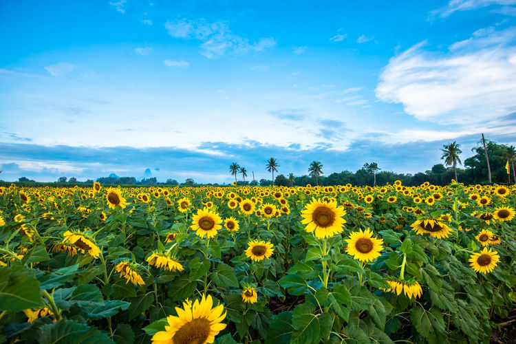 Flower Flowering Plant Plant Sky Beauty In Nature Growth Yellow Field Freshness Fragility Land Vulnerability  Landscape Nature Scenics - Nature Flower Head Sunflower Tranquil Scene Cloud - Sky Agriculture No People Outdoors Flowerbed Pollen