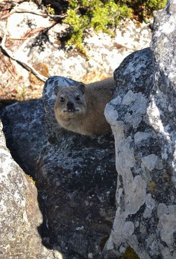 A small Dassie, unique animal on Table Mountain. Table Mountain Ecosystem  Ecological Niche Dassie One Animal Animal Themes Rock - Object Mammal Animals In The Wild Animal Wildlife Day Portrait Sunlight Nature Looking At Camera Cape Town