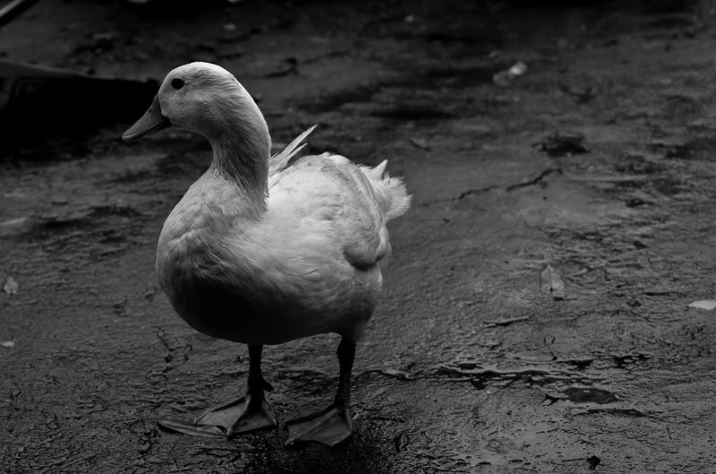 duck EyeEmNewHere EyeEm Best Shots Blackandwhite Black And White Black & White Macky Photography Nikonphotography Nikon Nikon D3400 EyeemPhilippines Eyeem Philippines Animals Wet Swan Duck Duckling Water Bird White Swan Beak Flapping