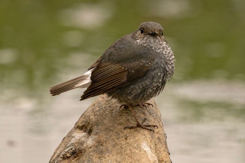 Sigma 150-600c Sony A7RII Hong Kong Plumbeous Water Redstart Bird Animals In The Wild One Animal Animal Wildlife Animal Themes Perching Focus On Foreground No People Nature Close-up Robin Outdoors Bird Of Prey Day