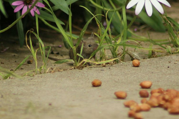 Mouse Field Mouse My Garden Creatures Cute Animals Capturing Freedom