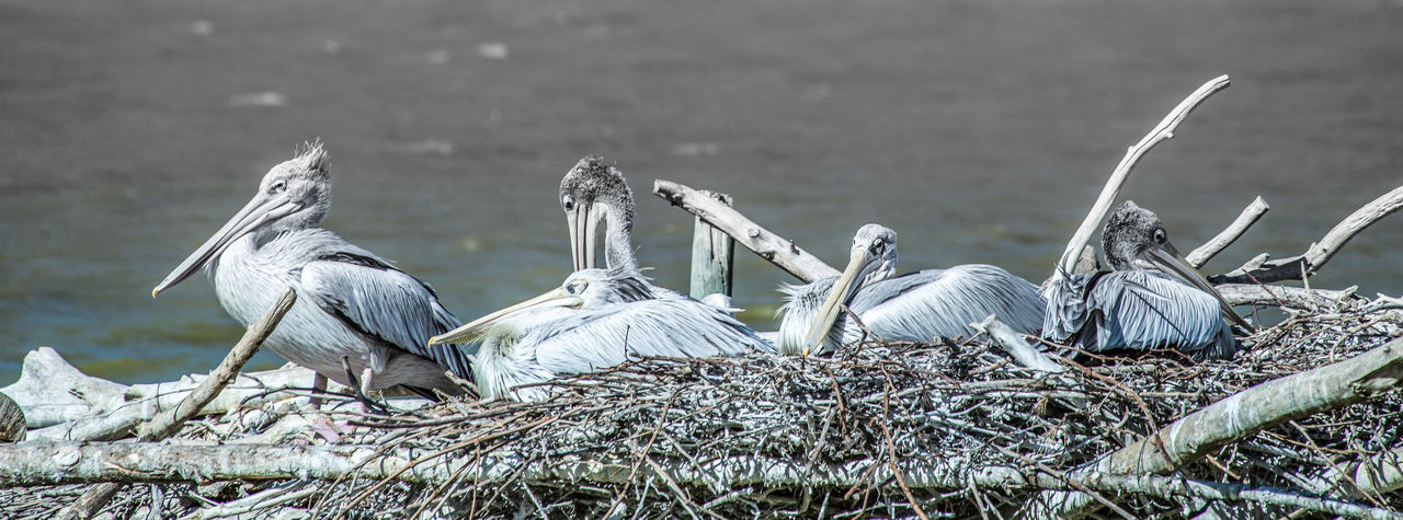 High angle view of pelican sitting on nest against lake