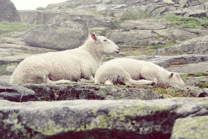 Lazy Sunday Sheep Norway Travel Photography Sleepy Eye4photography  Animal Themes Klaquax_Norway