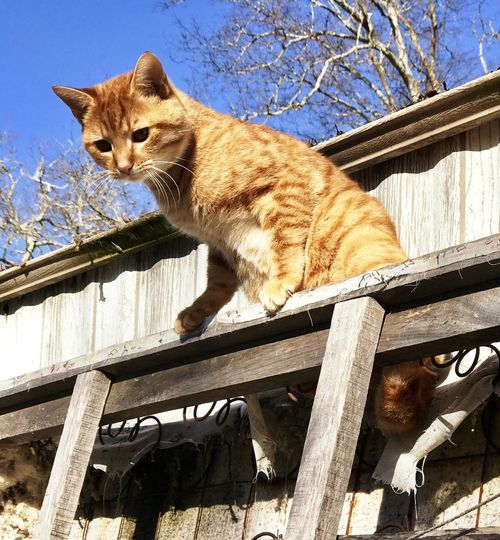 Outdoor- orange, or ginger tabby tomcat in a high place getting position to jump down Domestic Cat Animal Themes Wood - Material One Animal Mammal Feline Domestic Animals No People Full Length Outdoors Day Pets Nature Stock Photo Picture Copper Green Eyes Whiskers Companion Pet Domestic Cats One Animal No People Shorthaired Medium Fur American Feline Feral Stray Indoor Outdoor House Home Cutest Cat Of Day Cat Lover Breeds Carnivora Zoology Tabby Tomcat Mammal Playful C Animal Behavior Cute Cats Yellow Eyes Relaxation Portrait Tabby Cat high angle view